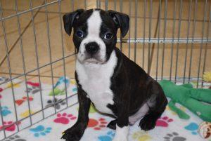 Buy Boston Terrier Puppies