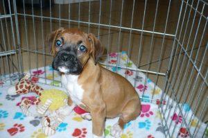 Buy Boxer Puppies