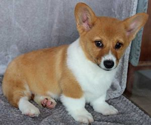 Buy Corgi Puppies