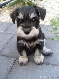Buy Schnauzer Puppies