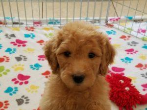Buy Goldendoodle Puppies