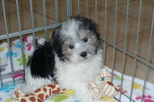 Buy Havanese Puppies