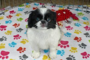 Buy Japanese Chin Puppies