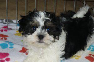 Buy Malshi Puppies