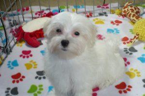 Buy Maltese Puppies