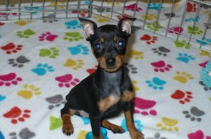 Buy Miniature Pinscher Puppies