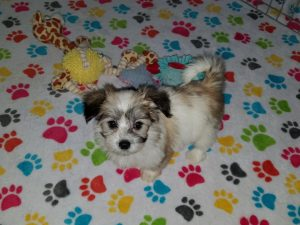 Buy Papitese Puppies