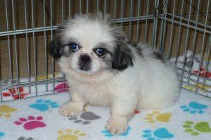 Buy Pekingese Puppies