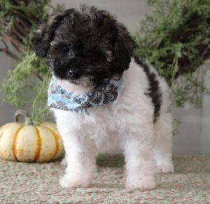 Buy Poochon Puppies