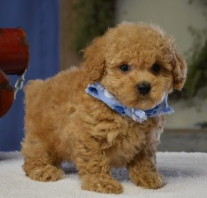 Buy Poodle Puppies