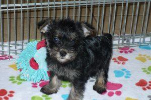 Buy Snorkie Puppies