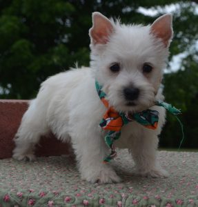 Buy West Highland Terrier Puppies