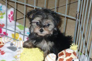 Buy Yorkie-Poo Puppies