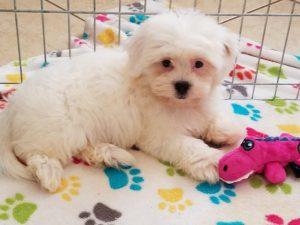 Buy Zuchon Puppies